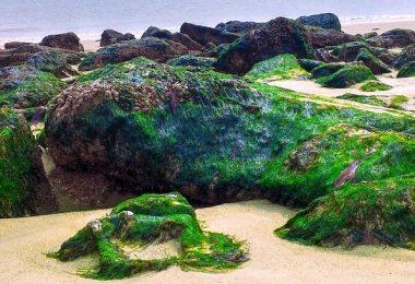 algues marines appelées fucus vesiculosus